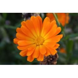 Měsíček lékařský, květ 40g / protizánětlivé účinky dle bylináře, vně i vnitřně